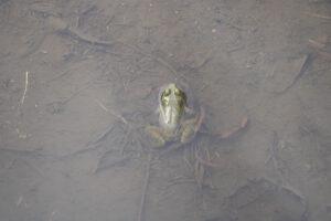 Frog at Linn Hall