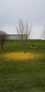 Tree loses leaves