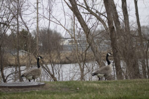 Campus Geese